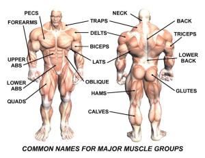 musclenames